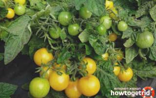 Томат Синичка: описание и характеристика сорта, отзывы садоводов с фото