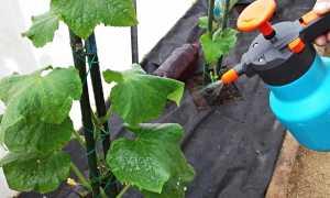 Мочевина для огурцов: можно ли поливать для подкормки? Как правильно питаться в земле и в теплице? Как развести мочевину для внекорневой подкормки?