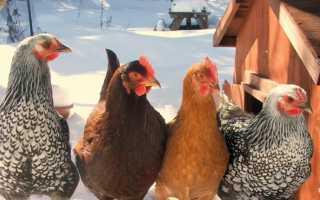 Почему куры не несутся зимой: причины и что делать для лучшей яйценоскости, как кормить