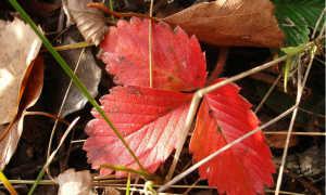 Почему краснеют листья у ревеня: болезни и вредители и меры борьбы с ними