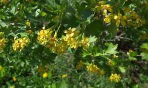 Дикая смородина (репис): где растет, описание и полезные свойства, выращивание и уход