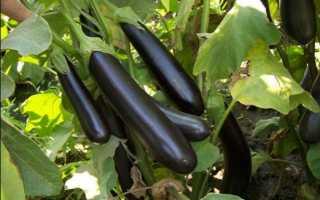 Как собрать семена баклажанов: способы в домашних условиях, выращивание с виде