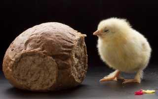 Можно ли курам давать хлеб: правила и частота кормления, давать белый или черный