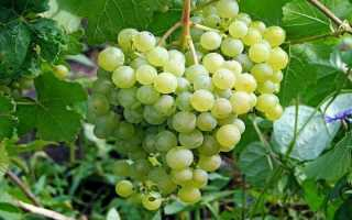 Виноград Алешенькин: описание и характеристики сорта, посадка и уход с фото