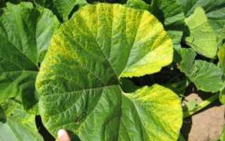 Болезни и вредители тыквы в открытом грунте: борьба с ними с фото