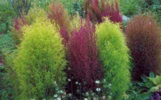 Описание Кохия многолетняя, ее польза, выращивание и уход за растением
