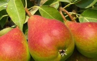 Груша Ника: описание и характеристики сорта, посадка и уход, хранение урожая