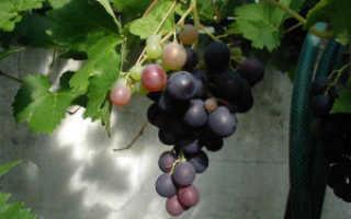 Вино из дикого винограда: лучший рецепт приготовления в домашних условиях