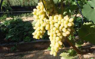 Виноград Триумф: описание и характеристики сорта, выращивание и уход