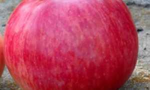 Яблоня Беркутовское: описание и внешний вид сорта, выращивание и уход