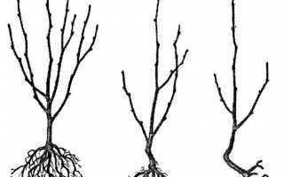 Описание абрикоса Графиня