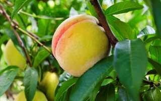 Когда в этом году нужно привить персик?