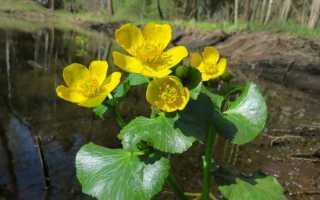 Калужница болотная: описание сорта, посадка и уход в открытом грунте, применение