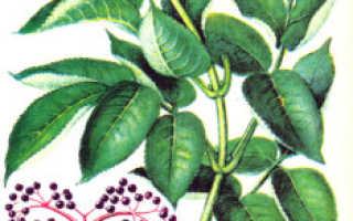 Бузина: посадка и уход, описание сортов, размножение и выращивание с фото