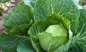 Не растет капуста: что делать если стоит на месте, чем подкормить