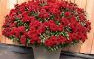 Хризантема Джорди кустовая: описание сорта, правила посадки и ухода, размножение