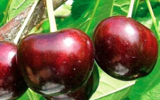 Крупноплодная черешня: описание сорта и опылители, выращивание и уход с фото