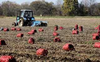 Сорта картофеля в Белоруссии: лучшие ранние и ультраранние с описанием и фото