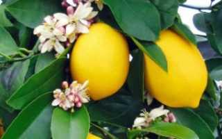 Яблоня Лимонка: описание сорта и характеристики, выращивание с фото