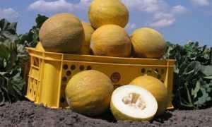 Дыня Роксолана f1: описание сорта, выращивание и уход с фото