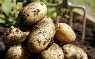 Картофельная моль: как с ней бороться при хранении?