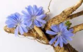 Цикорий: как собирать и сушить корень и цветы в домашних условиях с фото