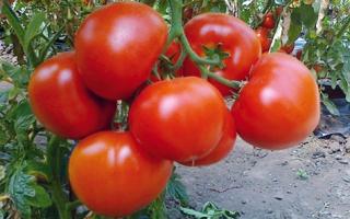 Томат Екатерина: описание сорта, урожайность и выращивание с фото