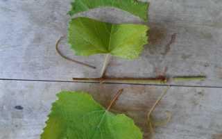 Размножение винограда зелеными черенками летом в домашних условиях
