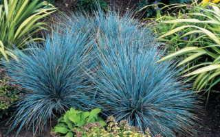 Когда лучше сажать саженцы овсяницы: особенности выращивания
