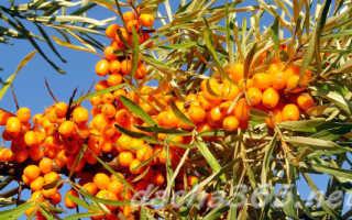 Посадка и уход за облепихой весной в открытом грунте: особенности выращивания и размножения, видеоинструкции