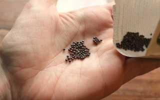 Как получить семена капусты самостоятельно в домашних условиях