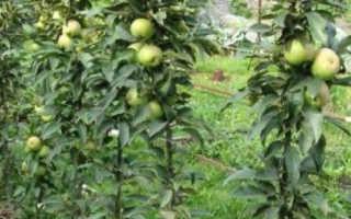 Описание сорта яблони Мед 🍎: фото яблони, важные качества, урожайность с дерева