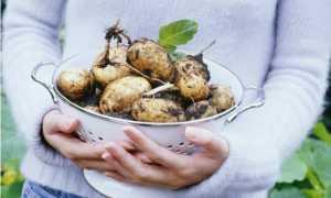 Картофель Беллароза: характеристика и описание сорта, мнение дачников с фото