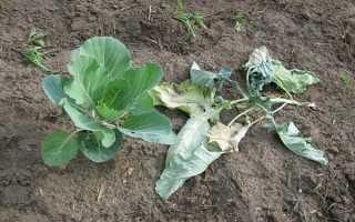 Почему вянут листья у капусты на грядке: что делать, чем поливать
