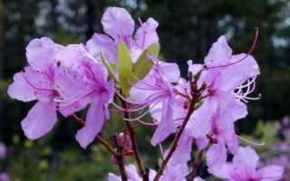 Рододендрон Даурский: описание и характеристики цветка, посадка и уход с фото