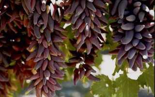 Виноград Ведьмины пальцы: описание и характеристики сорта, выращивание и уход