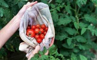 Развилка на стволе томатов