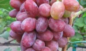 Виноград Граф Монте Кристо: описание и характеристики сорта, посадка и уход