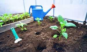 Почему не растут перцы в теплице после высадки и открытом грунте: что делать