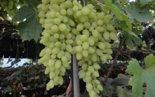 Виноград Долгожданный: описание и характеристики сорта, урожайность и выращивание