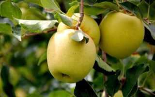 Яблоки Голден: разновидности и описание сорта, посадка, выращивание и уход