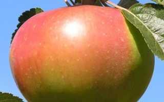 Яблоня Вербное: описание сорта и основные характеристики, плюсы и минусы