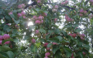 Колоновидная яблоня Триумф: описание сорта и характеристики плодов с фото