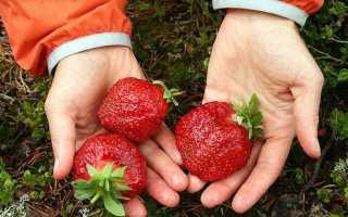 Клубника Зенит: описание и характеристики сорта, выращивание и размножение