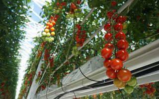Метод Терехиных по выращиванию томатов: технология с видео