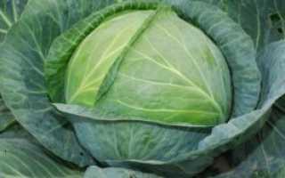 Капуста Агрессор: описание и характеристика сорта, выращивание с фото