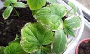 Почему у балконных огурцов листья пятнами и что делать