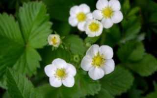 Почему клубника цветет, но не плодоносит: причины и методы лечения
