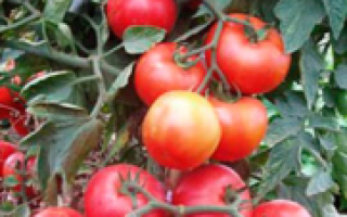Томат Уно Россо: описание и характеристика сорта, урожайность с фото