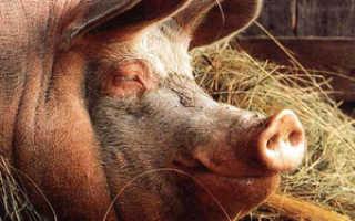 Рыжая свинья: описание лучших пород, особенности содержания, плюсы и минусы